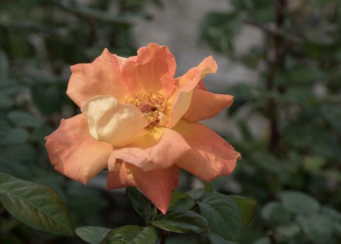 バラ(ルイ・ド・フュネス/ルイ・ドゥ・ヒューネ)の花。長居植物園で撮影