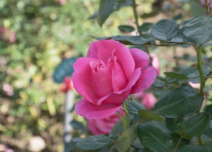 バラ(マガリ)の花。花博記念公園鶴見緑地で撮影
