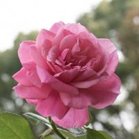 バラ(マガリ)の花