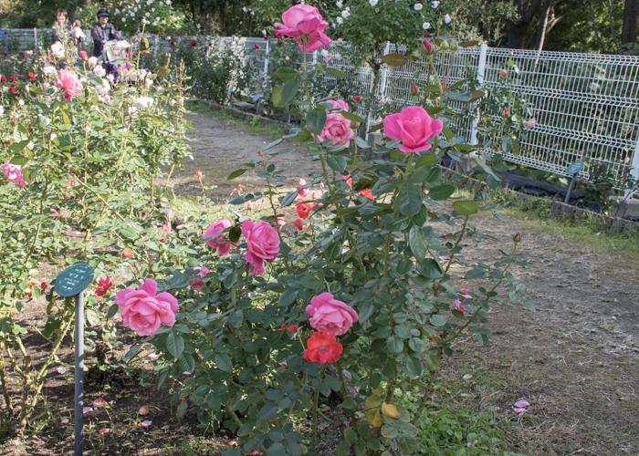 バラ(マガリ)の木全体。花博記念公園鶴見緑地で撮影