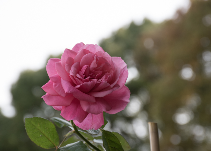 バラ(マガリ)の花。長居植物園で撮影