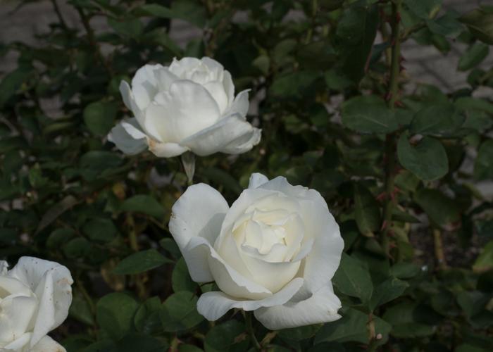 バラ(正雪)の花。長居植物園で撮影