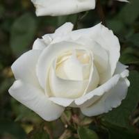 バラ(正雪)の花