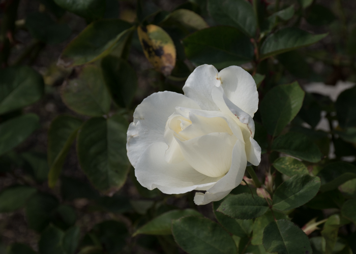 バラ(正雪)の開きかけの花。長居植物園で撮影