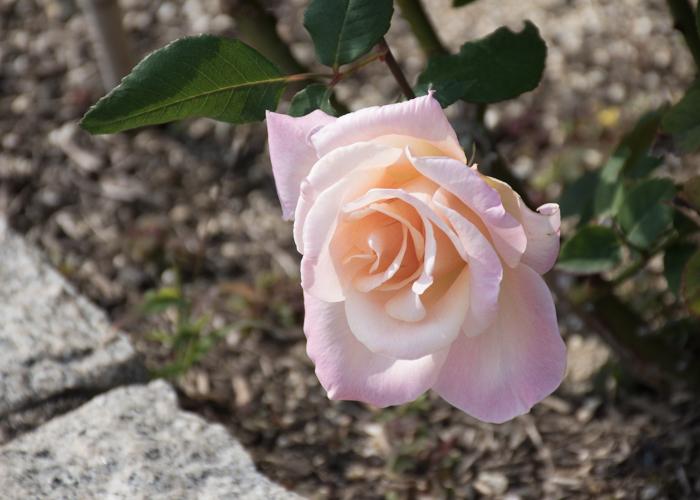 バラ(ミッシェル・メイアン)の花。長居植物園で撮影