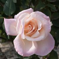 バラ(ミッシェル・メイアン)の花