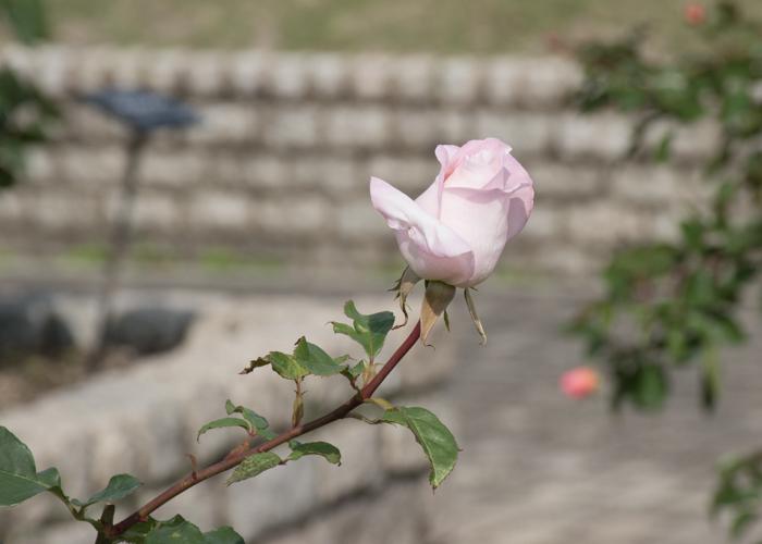 バラ(ミッシェル・メイアン)のつぼみ。長居植物園で撮影