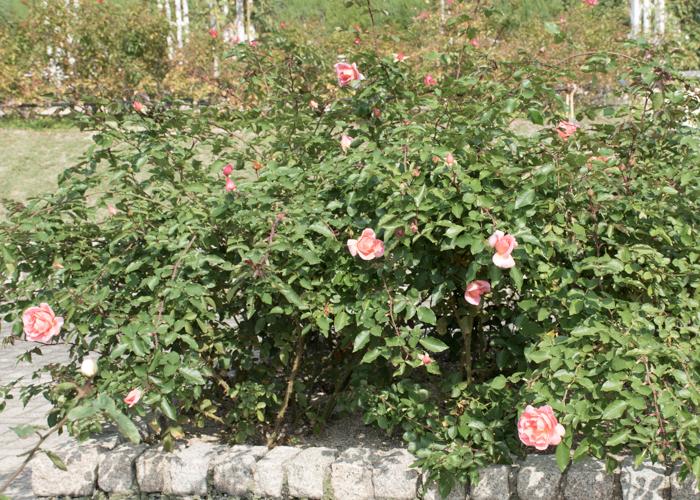 バラ(ミッシェル・メイアン)の花壇。長居植物園で撮影