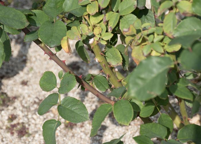 バラ(ミッシェル・メイアン)の枝と葉とトゲ。長居植物園で撮影