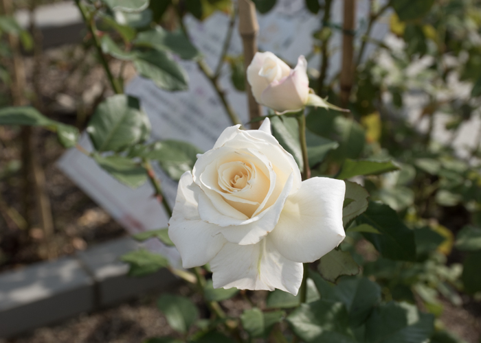 バラ(パスカリ)の花。長居植物園で撮影