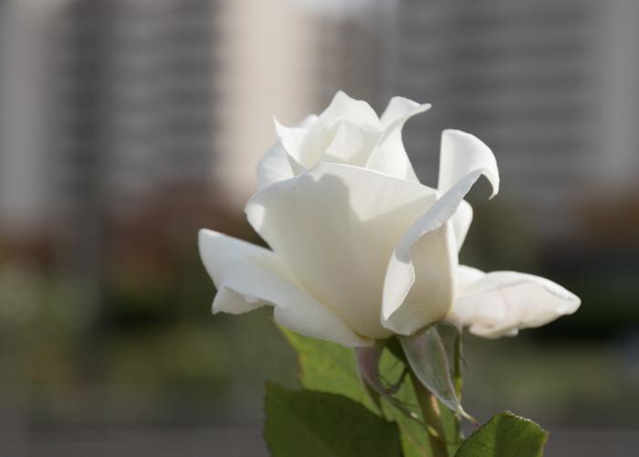 バラ(パスカリ)の花の横顔。長居植物園で撮影