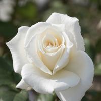 バラ(パスカリ)の花