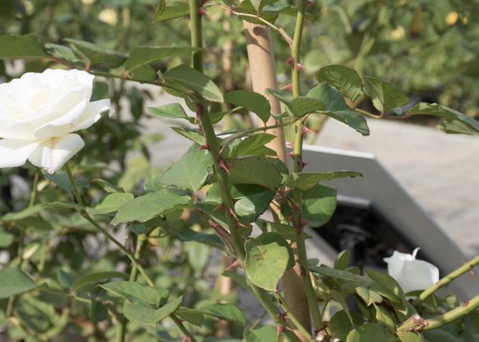 バラ(パスカリ)の枝とトゲと葉。長居植物園で撮影