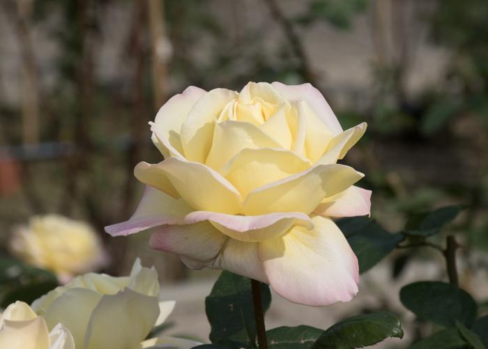 バラ(ピース)の花の横顔。長居植物園で撮影