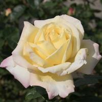 バラ(ピース)の花