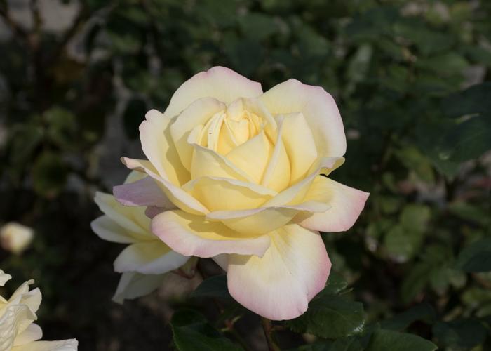 バラ(ピース)の花。長居植物園で撮影