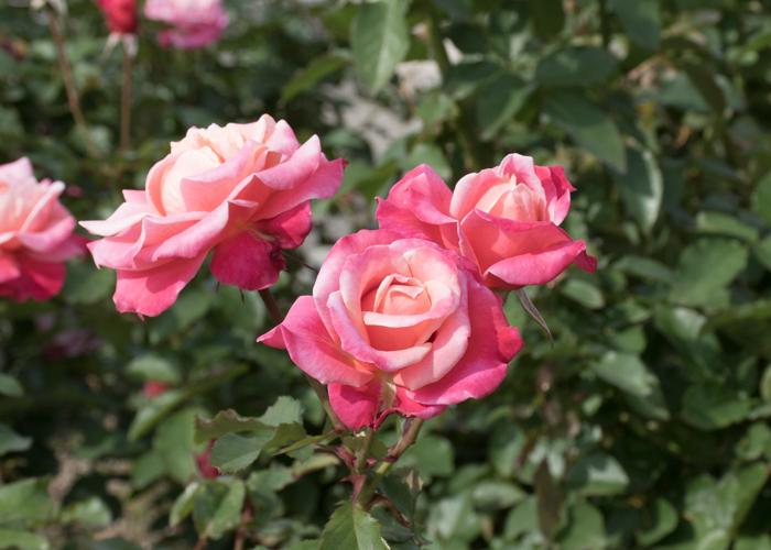 バラ(プリンセス・チチブ)の花。長居植物園で撮影