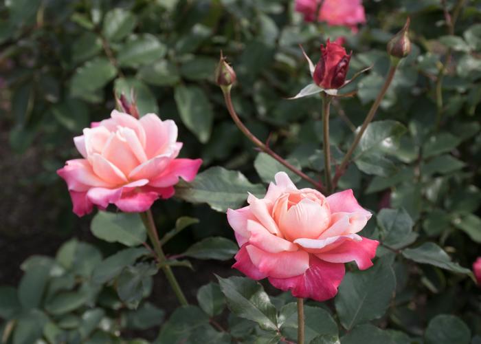 バラ(プリンセス・チチブ)の花の横顔。長居植物園で撮影