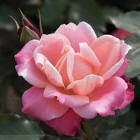 バラ(プリンセス・チチブ)の花