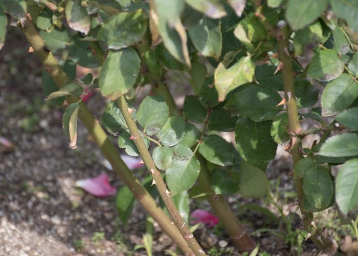 バラ(プリンセス・チチブ)の枝と葉とトゲ。長居植物園で撮影