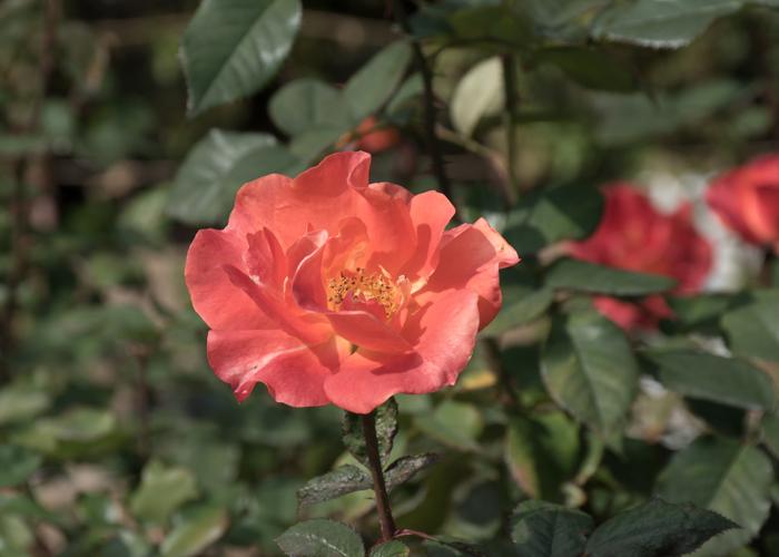 バラ(プリンセス・ミチコ)の花。長居植物園で撮影