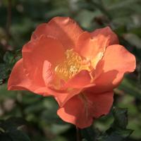 バラ(プリンセス・ミチコ)の花