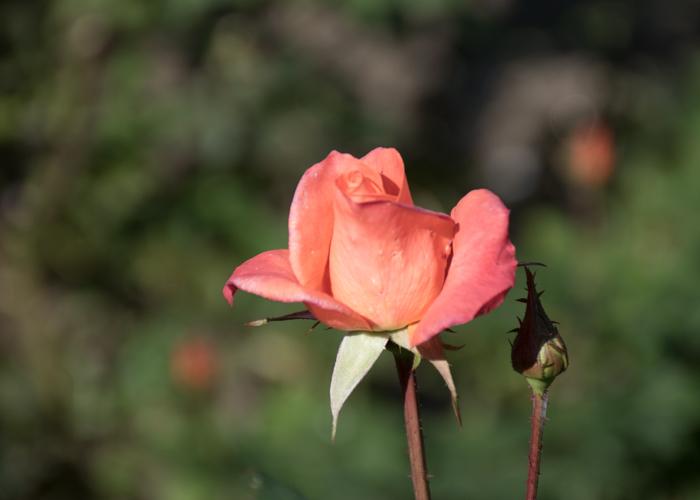 バラ(プリンセス・ミチコ)の花。花博記念公園鶴見緑地で撮影