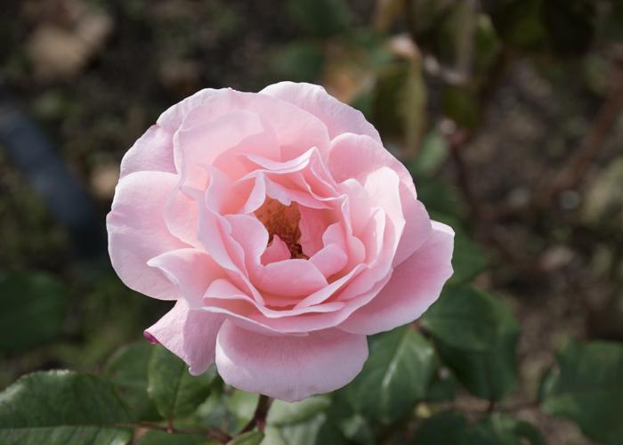 バラ(クイーン・エリザベス)の花。長居植物園で撮影
