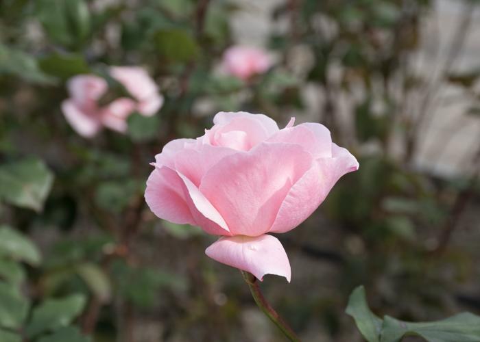 バラ(クイーン・エリザベス)の花の横顔。長居植物園で撮影