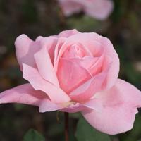 バラ(クイーン・エリザベス)の花