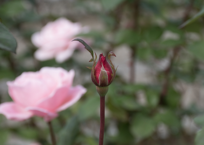 バラ(クイーン・エリザベス)のつぼみ。長居植物園で撮影