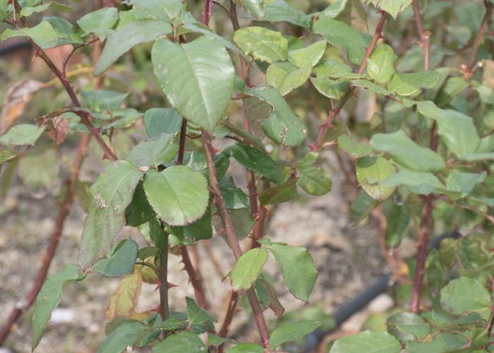 バラ(クイーン・エリザベス)の枝とトゲと葉。長居植物園で撮影