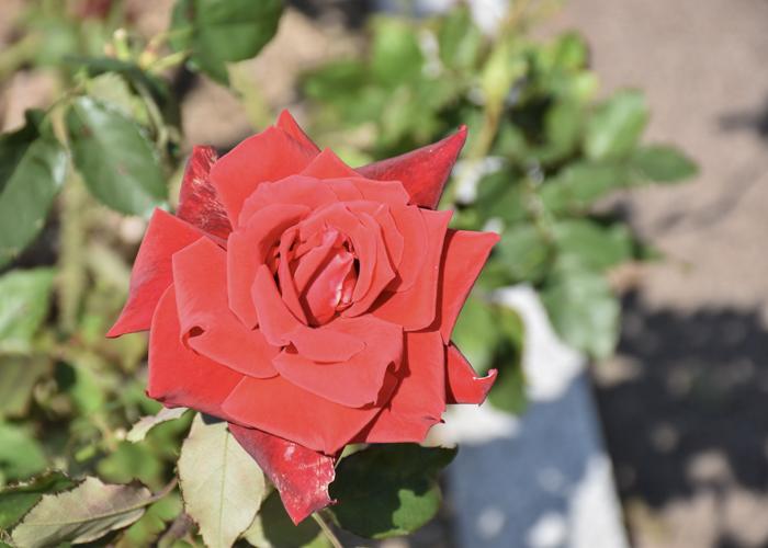 バラ(ローズ・オオサカ)の花。荒巻バラ公園で撮影