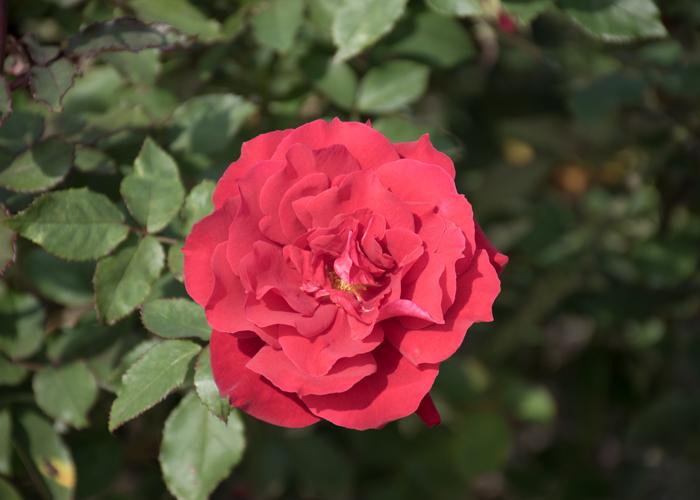 バラ(ローズ・オオサカ)の開ききった花。長居植物園で撮影