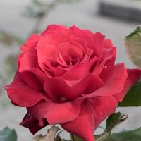 バラ(ローズ・オオサカ)の花