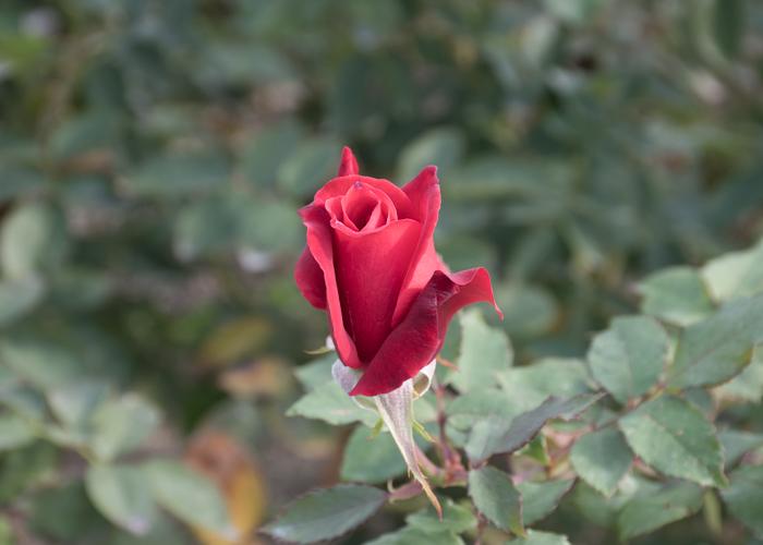 バラ(ローズ・オオサカ)のつぼみ。長居植物園で撮影