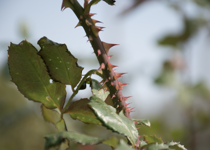 バラ(ローズ・オオサカ)の枝と葉とトゲ。長居植物園で撮影