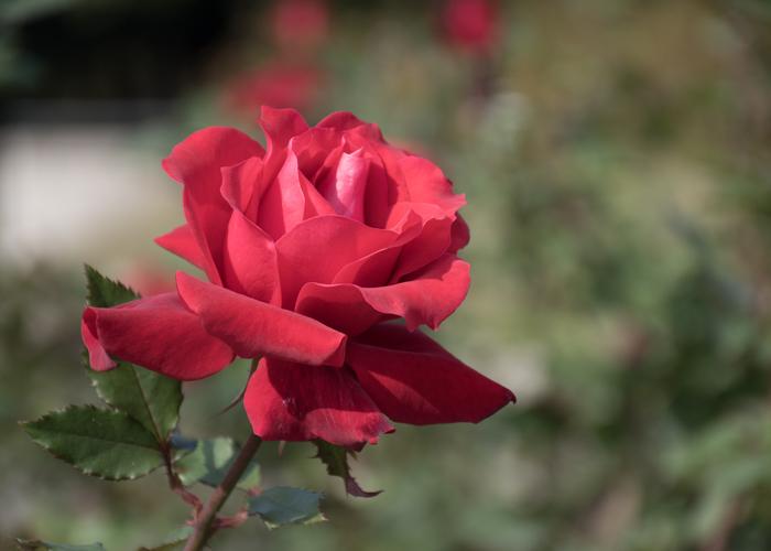 バラ(ローズ・オオサカ)の花。長居植物園で撮影