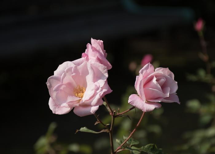 バラ(桜貝)の花。長居植物園で撮影
