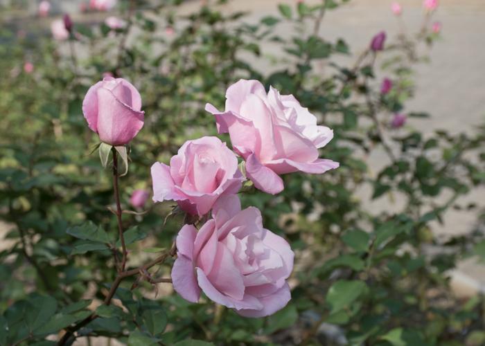 バラ(桜貝)の花の横顔。長居植物園で撮影