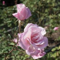 バラ(桜貝)の花