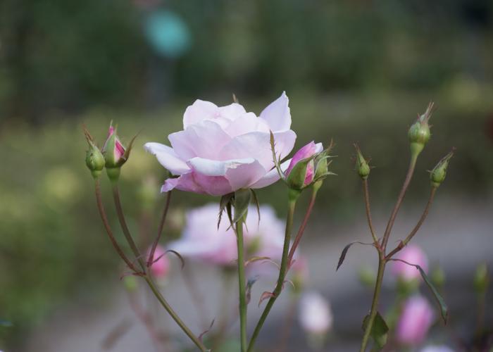 バラ(桜貝)のつぼみ。花博記念公園鶴見緑地で撮影