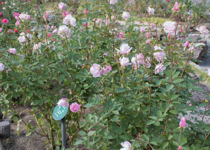 バラ(桜貝)の花と木全体。花博記念公園鶴見緑地で撮影