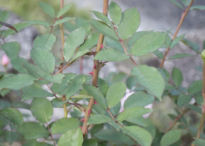バラ(桜貝)の枝と葉とトゲ。花博記念公園鶴見緑地で撮影