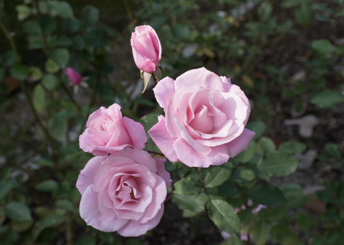 バラ(桜貝)の花の正面。長居植物園で撮影