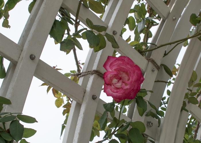 バラ(つる聖火)の花。長居植物園で撮影