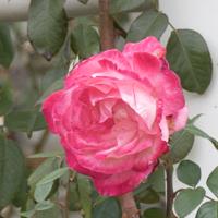 バラ(つる聖火)の花