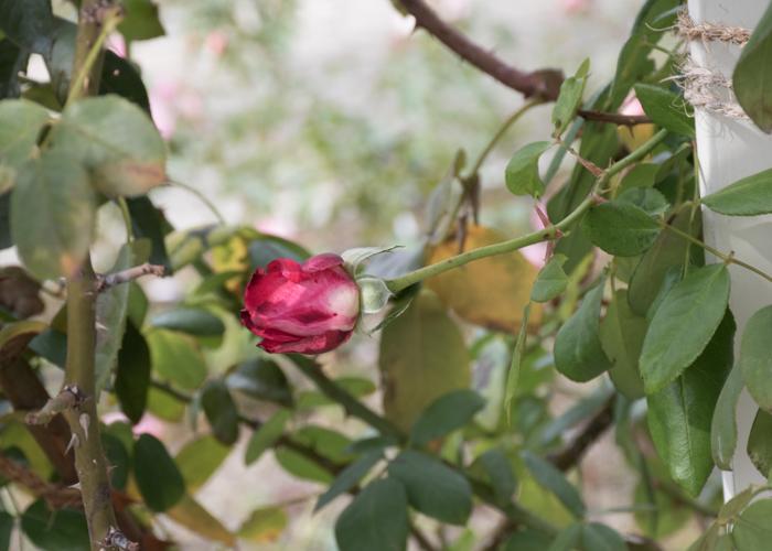 バラ(つる聖火)のつぼみ。長居植物園で撮影