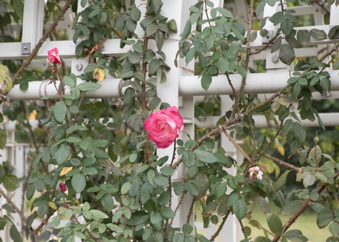 バラ(つる聖火)のつる。長居植物園で撮影
