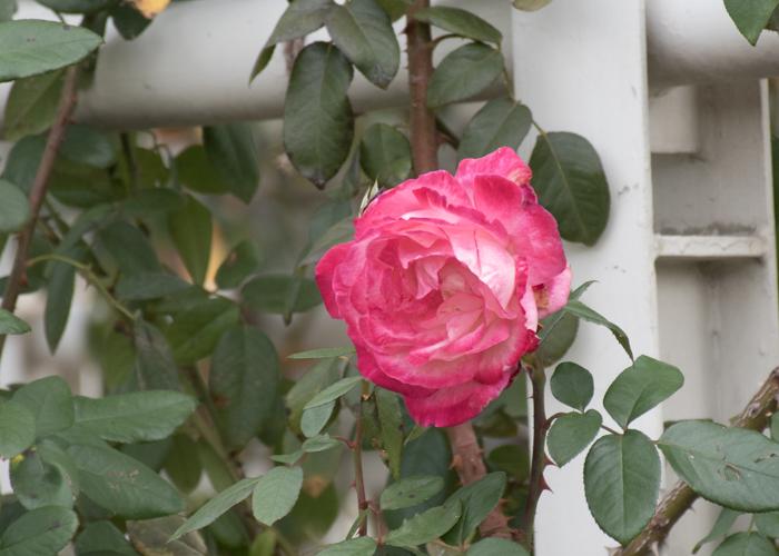 バラ(つる聖火)の花のアップ。長居植物園で撮影